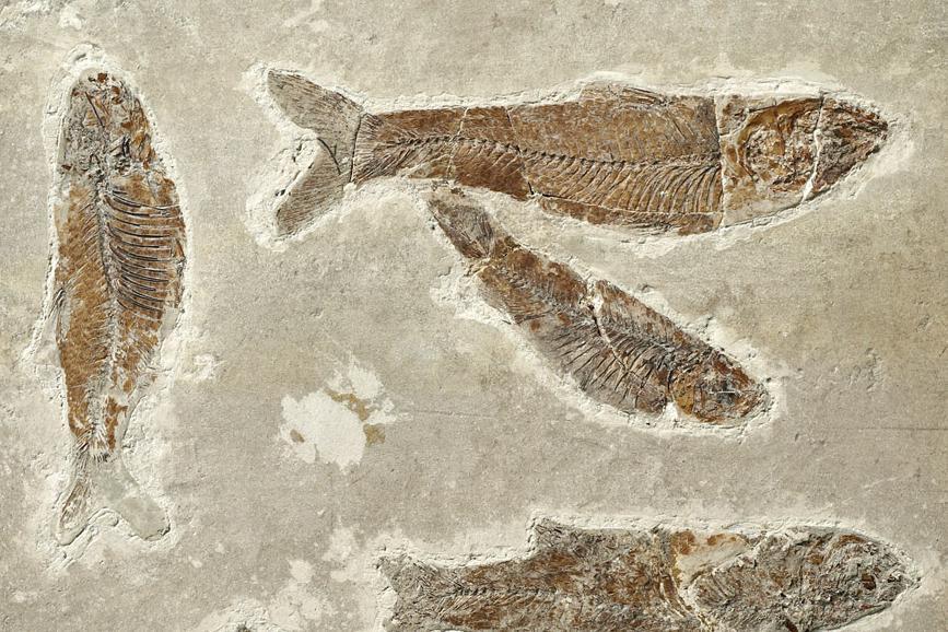 Fischfossil aus den Mergelkalkschiefern in Öhningen, Foto: Staatliche Schlösser und Gärten Baden-Württemberg, Arnim Weischer