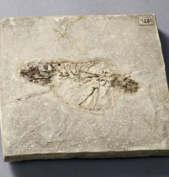 Fake fossil from the limestone marl slate in Öhningen. Image: Staatliche Schlösser und Gärten Baden-Württemberg, Arnim Weischer