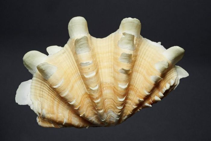 Shell, natural history cabinet, Meersburg New Palace