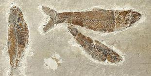 Fischfossil aus den Mergelkalkschiefern in Öhningen.